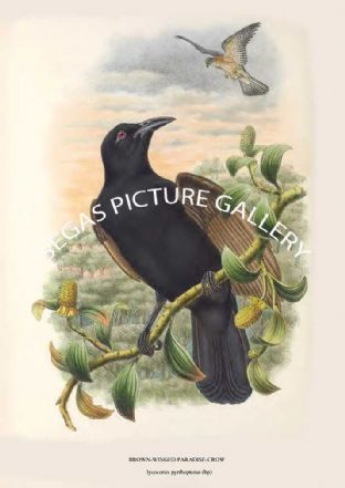 BROWN-WINGED PARADISE-CROW - lycocorax pyrrhopterus (bp)